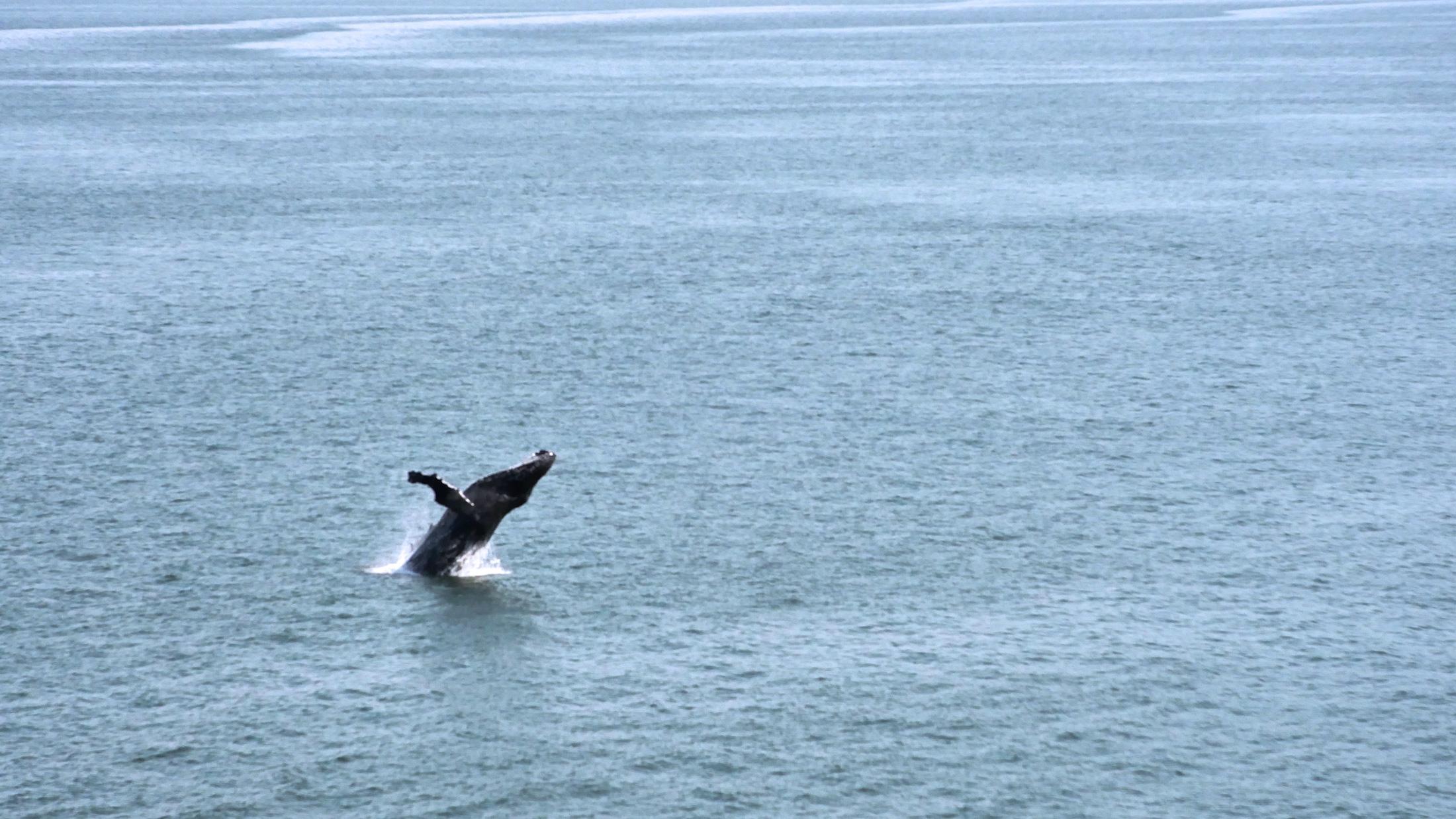 Alaska humpback whale breech